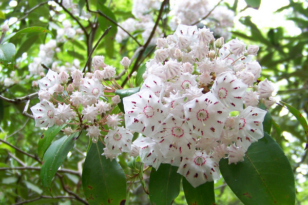 We're at a lower elevation than yesterday, so we find Mountain Laurel blooming here.