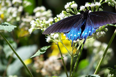 The blue on this Pipevine Swallowtail butterfly was iridescent only when the sunlight hit at the right angle.