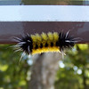 Back at the parking lot post-hike, Patti finds this pretty caterpillar climbing around on a trail sign.  He will grow up to be a Spotted Tussock Moth (Lophocampa maculata).