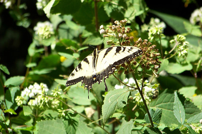 Our first hike of Labor Day weekend in the Smokies followed the Low Gap trail from the Cosby campground to a junction with the Appalachian Trail.  At the trail junction was a clearing that had been taken over by flowers, and the butterflies were everywhere!