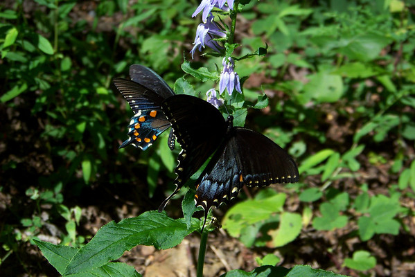 Now, now, there's enough for everyone!  I think we've got an Eastern Tiger Swallowtail in the foreground, and a Pipevine Swallowtail behind her.