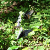 Two Pipevine Swallowtail butterflies