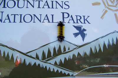Mr. caterpillar has scaled the Smokies and is about to burn his behind getting too close to the sun!