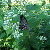 We admire one more butterfly on our hike back to the campground.  I think she's a black-form Eastern Tiger Swallowtail.