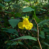 Pale Jewelweed - a favorite of the Ruby-throated Hummingbird, though we didn't see any.