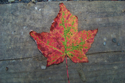 Though it's still full summer, we have a maple tree in our campsite that is dropping red leaves; it must be under some stress.