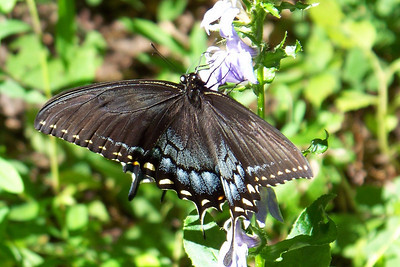 Our campsite is furnished with blue Lobelia, which the butterflies are gaga over.   Eastern Tiger Swallowtail.