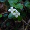 Patridgeberry