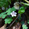Wood Sorrel on the Maddron Bald trail.