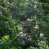 There were massive numbers of rhododendron in flower, blanketing whole hillsides like this.