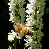 Bee and Galax