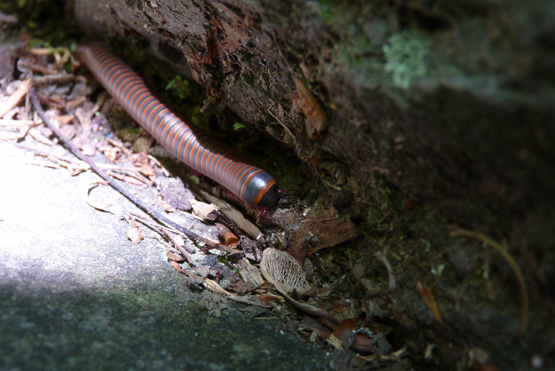 Patti is really a fan of bugs, and is happy to see this millipede foraging on our sitting rock.