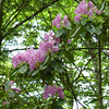 We've been watching the bloom advance as the climate warms; this year the the rhododendron are in peak bloom.