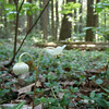 """Spotted Wintergreen (Chimaphila maculata).  We think this is a """"life flower"""" for us."""
