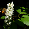 The bees were enjoying the Galax