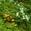 Mushrooms and Patridgeberry