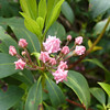 Mountain Laurel buds are almost as nice as the flowers.