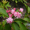 Mountain Laurel budding