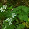 Broadleaf Toothwort (Dentaria diphylla)