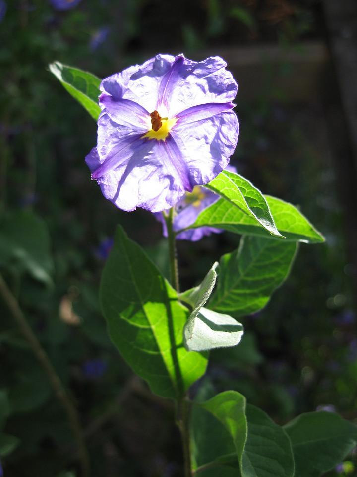 Wild Flowers <br /> ...in Hoeft's garden.