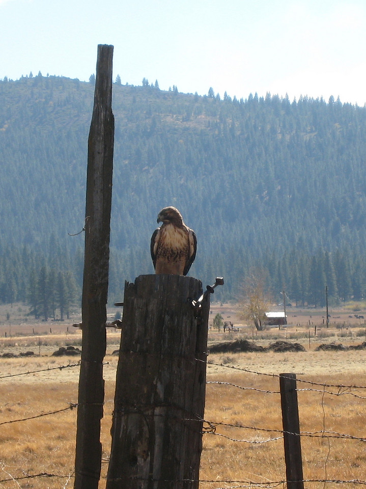 He flew about 10 ft.<br /> <br /> The bill is short and dark, in the hooked shape characteristic of raptors.[4] The cere, the legs, and the feet of the Red-tailed Hawk are all yellow