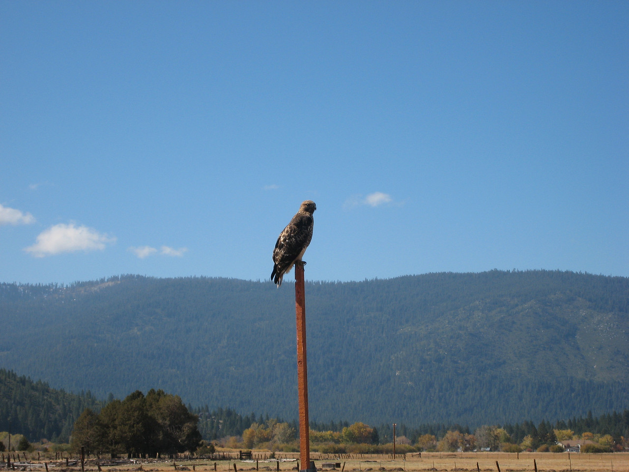Red Tail Hawk on the way out of the hot springs.