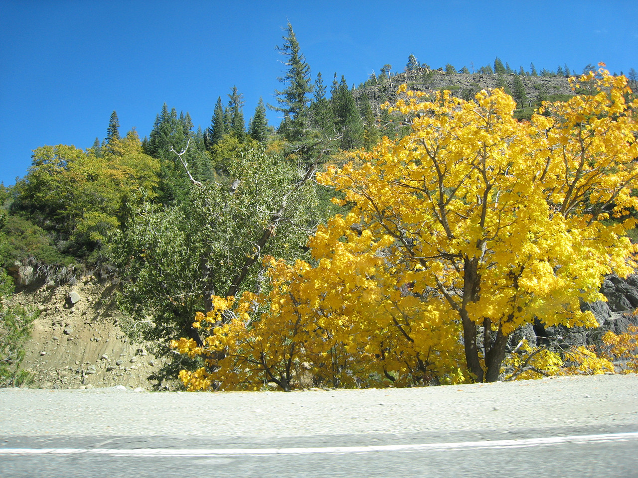 """California Black Oak. <br /> <br /> Plumas county has a nice fall colors blog...<br />  <a href=""""http://www.plumascounty.org/Awesome_Autumn/Leaf%20Peeper%20Reports.htm"""">http://www.plumascounty.org/Awesome_Autumn/Leaf%20Peeper%20Reports.htm</a>"""