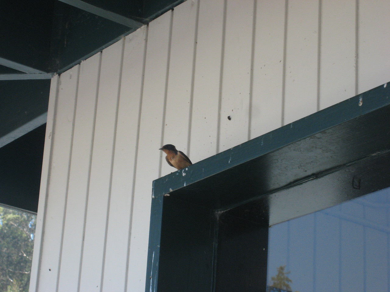 Went to Broadway Nursery to buy some flowers... where some Barn Swallows are nesting.