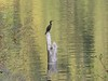 "Lots of really cool birds on the river... like this cormorant...<br /> <a href=""http://en.wikipedia.org/wiki/Great_Cormorant"">http://en.wikipedia.org/wiki/Great_Cormorant</a>"