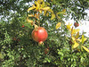 Pomegranate (or seeded apple in latin)... AJ Jacobs thinks this was the original forbidden fruit.