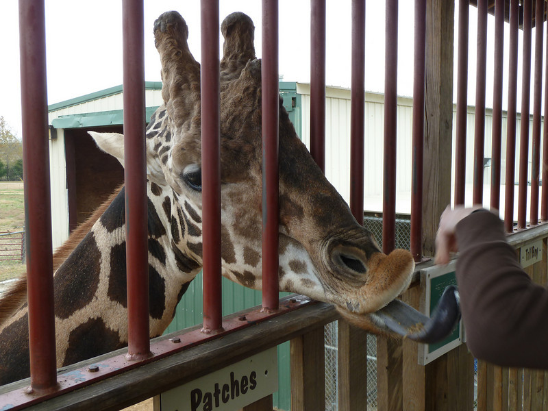 Hand feeding a giraffe at Tupelo Buffalo Park