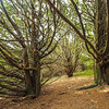 Younger Yews on the Chalk Downs, none looked that healthy