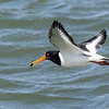 Oystercatcher with crab 1