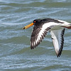 Oystercatcher with crab 2