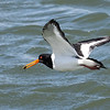 Oystercatcher with crab 3