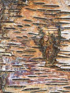 birch amongst the beech