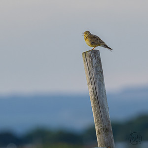 Skylark sings to the setting sun