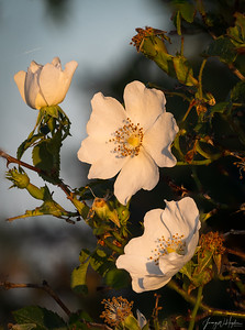 Dog rose at sunset