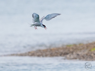 Common tern prepares to dive