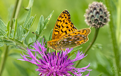 Fritillary and thistle 1