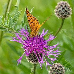 Fritillary and thistle 2
