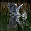 ? ..drinking heron
