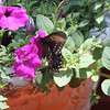 A beautiful birthday butterfly