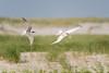 Common Tern - fight
