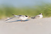 Common Tern - Juvenile wing stretch