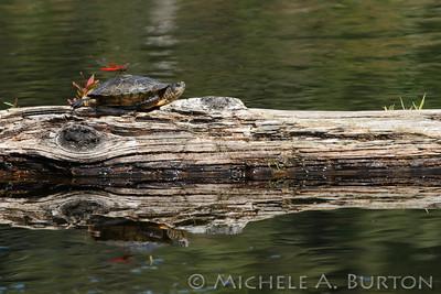 07292011_114_20110729_IMG_4352_WDFW_Turtles
