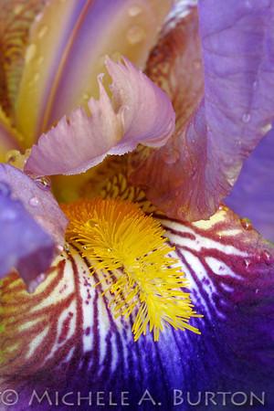 110527_Bearded Iris IMG_9691