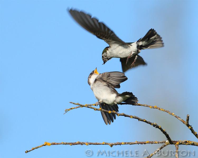 Adult Violet-green Swallow feeding Juvenile