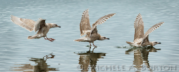 2015-0220_Gull landing on water 2592-2594
