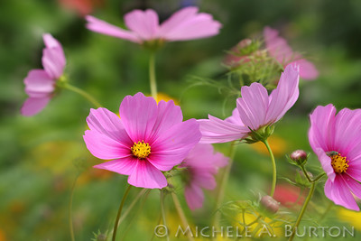 Cosmos bursting with color at a local p-patch